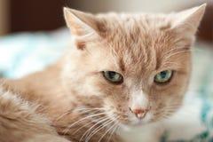 μπεζ γάτα Στοκ φωτογραφία με δικαίωμα ελεύθερης χρήσης