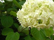 Μπεζ και άσπρος στενός επάνω hydrangea με την άδεια Στοκ εικόνα με δικαίωμα ελεύθερης χρήσης