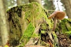 Μπεζ μανιτάρι σε ένα κολόβωμα δέντρων Στοκ φωτογραφία με δικαίωμα ελεύθερης χρήσης