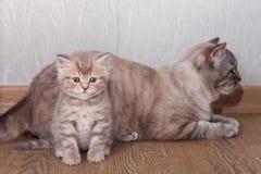 Μπεζ ριγωτές σκωτσέζικες γατάκι και γάτα Στοκ Εικόνες