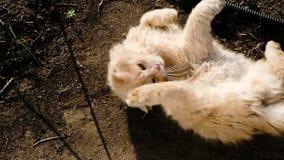 Μπεζ χνουδωτή γάτα wallows στη λάσπη και basks στον ήλιο, σε αργή κίνηση φιλμ μικρού μήκους