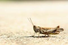 μπεζ grasshopper Στοκ εικόνα με δικαίωμα ελεύθερης χρήσης