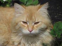 Μπεζ tomcat με τα κίτρινα ηλέκτρινα μάτια Τρυπημένη γάτα στον κήπο Στενός επάνω γατών protrait Στοκ φωτογραφία με δικαίωμα ελεύθερης χρήσης