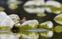 Μπεκατσίνια που κρύβονται μεταξύ των βράχων Στοκ Εικόνες