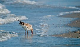 Μπεκατσίνι που τρώει στην παραλία στοκ εικόνες