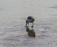 Μπεκατσίνι σιγλίγουρων, ferruginea Calidris, στην παραλία Στοκ Φωτογραφίες