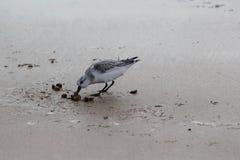 Μπεκατσίνι σιγλίγουρων, ferruginea Calidris, στην παραλία Στοκ Εικόνα