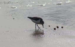 Μπεκατσίνι σιγλίγουρων, ferruginea Calidris, στην παραλία Στοκ εικόνα με δικαίωμα ελεύθερης χρήσης