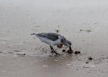 Μπεκατσίνι σιγλίγουρων, ferruginea Calidris, στην παραλία Στοκ εικόνες με δικαίωμα ελεύθερης χρήσης