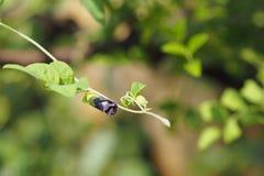 Μπιζέλι πεταλούδων, μπλε μπιζέλι, άνθηση ternatea Clitoria Στοκ Φωτογραφίες