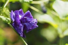 Μπιζέλι πεταλούδων, μπλε μπιζέλι, άνθηση ternatea Clitoria Στοκ φωτογραφία με δικαίωμα ελεύθερης χρήσης