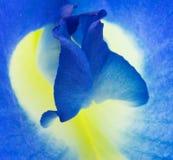 Μπιζέλι πεταλούδων Στοκ Εικόνες