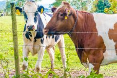 Μπισκότο Oreo και αγελάδα γάλακτος σοκολάτας Στοκ εικόνα με δικαίωμα ελεύθερης χρήσης