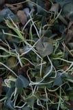Μπλεγμένο nasturtium φύλλωμα που σκοτώνεται από τον παγετό το χειμώνα στοκ εικόνα με δικαίωμα ελεύθερης χρήσης