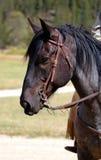μπλε άλογο 2 roan στοκ εικόνες