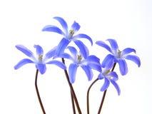μπλε άνοιξη scilla στοκ εικόνες