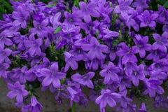 Μπλε ή ιώδη κουδούνια λουλουδιών στο δοχείο πετρών Στενός επάνω ανθών Campanula στοκ εικόνα