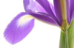 μπλε ίριδα λουλουδιών Στοκ φωτογραφία με δικαίωμα ελεύθερης χρήσης