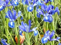 μπλε ίριδες Στοκ Εικόνες