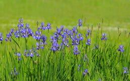 μπλε ίριδα Στοκ εικόνα με δικαίωμα ελεύθερης χρήσης