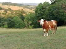 μπλε αγελάδων αγελάδων σκοτεινό τοπίων καλοκαίρι ουρανού λιβαδιού αγροτικό κάτω Στοκ εικόνες με δικαίωμα ελεύθερης χρήσης