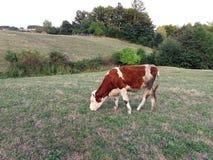 μπλε αγελάδων αγελάδων σκοτεινό τοπίων καλοκαίρι ουρανού λιβαδιού αγροτικό κάτω Στοκ Εικόνες