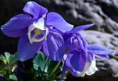 μπλε ανεμιστήρας columbine Στοκ Εικόνες
