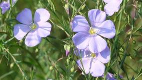 Μπλε ανθίσεις λιναριού εγκαταστάσεων λουλουδιών απόθεμα βίντεο