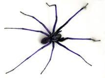 μπλε αράχνη στοκ εικόνες