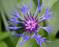 Μπλε αραχνοειδές λουλούδι με το κοκκινωπό κέντρο του βουνού Bluet Στοκ εικόνα με δικαίωμα ελεύθερης χρήσης