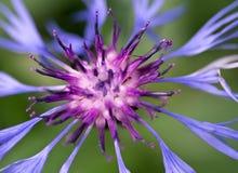 Μπλε αραχνοειδές λουλούδι με το κοκκινωπό κέντρο του βουνού Bluet Στοκ Φωτογραφίες