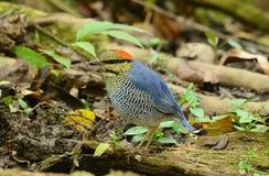 μπλε αρσενικό pitta στοκ εικόνες με δικαίωμα ελεύθερης χρήσης