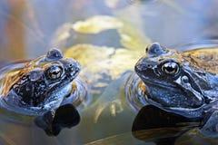 μπλε βάτραχοι Στοκ φωτογραφίες με δικαίωμα ελεύθερης χρήσης