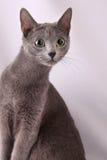 μπλε γάτα ρωσικά Στοκ Εικόνες