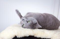 μπλε γάτα ρωσικά Στοκ εικόνες με δικαίωμα ελεύθερης χρήσης