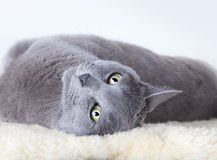μπλε γάτα ρωσικά Στοκ φωτογραφίες με δικαίωμα ελεύθερης χρήσης