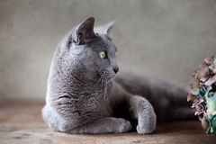 μπλε γάτα ρωσικά Στοκ φωτογραφία με δικαίωμα ελεύθερης χρήσης