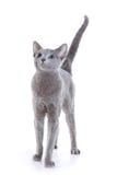 μπλε γάτα ρωσικά στοκ φωτογραφία