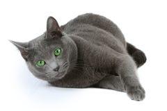 μπλε γάτα ρωσικά στοκ φωτογραφίες