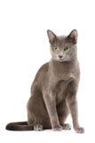 μπλε γάτα ρωσικά στοκ εικόνα με δικαίωμα ελεύθερης χρήσης