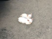 μπλε γάτα eyed στοκ εικόνες με δικαίωμα ελεύθερης χρήσης