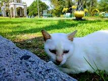 μπλε γάτα eyed στοκ φωτογραφία με δικαίωμα ελεύθερης χρήσης