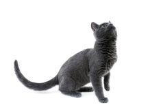 μπλε γατάκι ρωσικά Στοκ Εικόνες