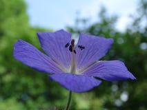 Μπλε γεράνι στοκ εικόνες με δικαίωμα ελεύθερης χρήσης