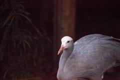 Μπλε γερανός αποκαλούμενος παράδεισο Anthropoides Στοκ φωτογραφίες με δικαίωμα ελεύθερης χρήσης