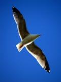 μπλε γλάρος Στοκ Φωτογραφίες