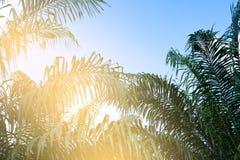 μπλε δέντρα ουρανού φοιν&iota ταξίδι, καλοκαίρι, διακοπές και τροπική παραλία Στοκ Φωτογραφίες