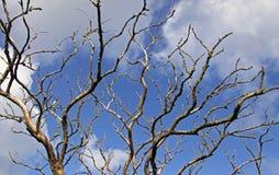 μπλε δέντρο ουρανού κλάδ&ome Στοκ Εικόνες