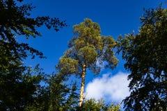 μπλε δέντρο ουρανού πεύκ&omega Στοκ Εικόνες