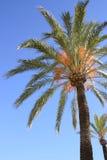 μπλε δέντρο ουρανού φοινικών Στοκ φωτογραφία με δικαίωμα ελεύθερης χρήσης